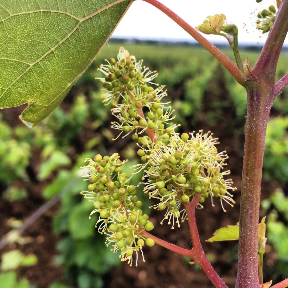 fleur de vigne bourgogne pinot ©Marthe Henry - L'actu du vin